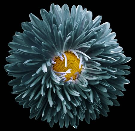turquoise astra flower,black isolated background with clipping path.    Closeup.  no shadows.  For design.   Nature.