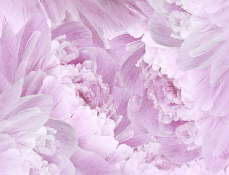 Floral pink beautiful background. Pink Peonies  and petals  flowers. Close-up. Nature.