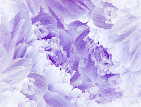 Floral purple beautiful background. Pink Peonies  and petals  flowers. Close-up. Nature.