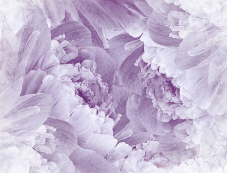 Floral  violet beautiful background. Pink Peonies  and petals  flowers. Close-up. Nature.
