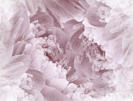 Floral  white-brown beautiful background. Pink Peonies  and petals  flowers. Close-up. Nature.