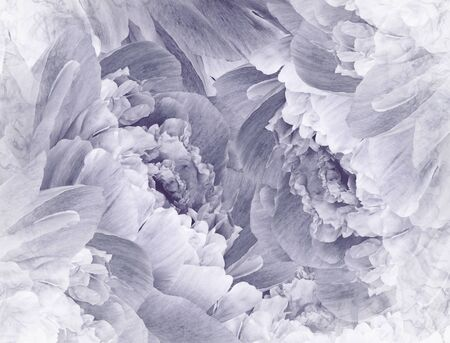Floral  white-gray beautiful background. Pink Peonies  and petals  flowers. Close-up. Nature.