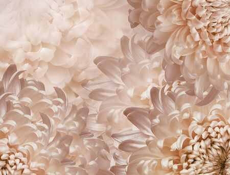 chrysanthemum flowers. pink background. floral collage. flower composition. Close-up. Nature.