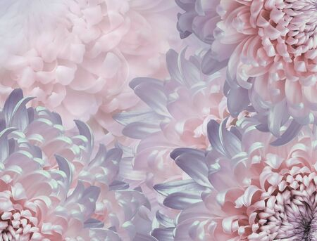 chrysanthemum flowers. pink and violet violet background. floral collage. flower composition. Close-up. Nature. Фото со стока