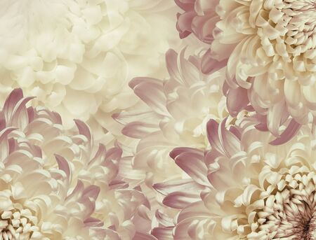 chrysanthemum flowers. pink and white violet background. floral collage. flower composition. Close-up. Nature.