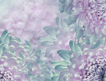 chrysanthemum flowers. pink and turquoise  background. floral collage. flower composition. Close-up. Nature.