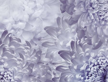 chrysanthemum flowers. light  purple  background. floral collage. flower composition. Close-up. Nature. Фото со стока