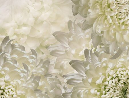 chrysanthemum flowers. white and green  background. floral collage. flower composition. Close-up. Nature.