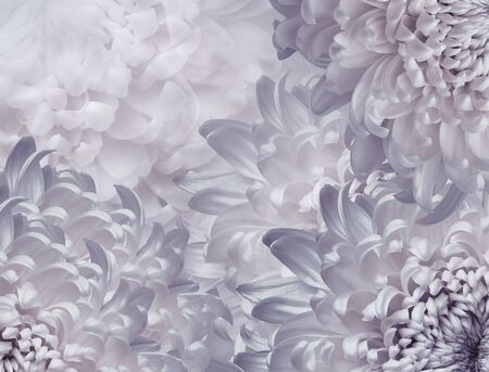 chrysanthemum flowers. white and  purple  background. floral collage. flower composition. Close-up. Nature.