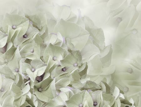 hydrangea flowers. light green background. floral collage. flower composition. Close-up. Nature. Фото со стока