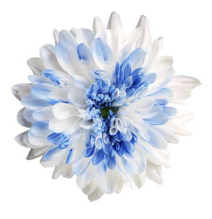 white and blue dahlia flower, white isolated background with clipping path.   Closeup.  no shadows.  For design.  Nature.