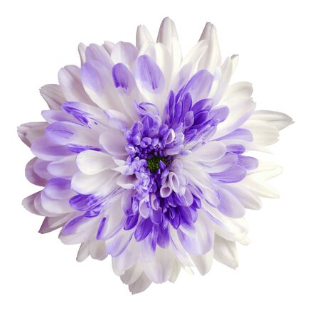 white and purple dahlia flower, white isolated background with clipping path.   Closeup.  no shadows.  For design.  Nature.