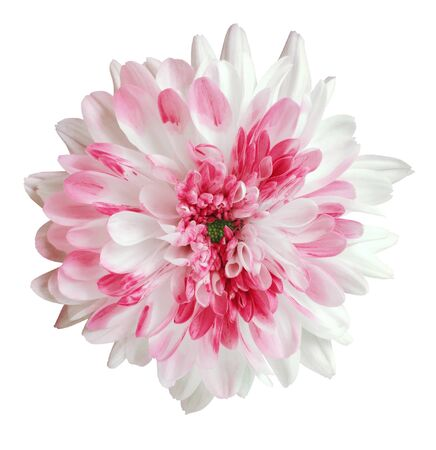 white and pink dahlia flower, white isolated background with clipping path.   Closeup.  no shadows.  For design.  Nature.