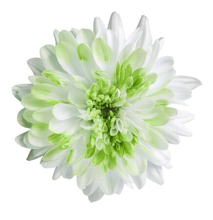 white and green dahlia flower, white isolated background with clipping path.   Closeup.  no shadows.  For design.  Nature. Фото со стока