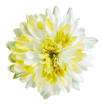 white and yellow dahlia flower, white isolated background with clipping path.   Closeup.  no shadows.  For design.  Nature.