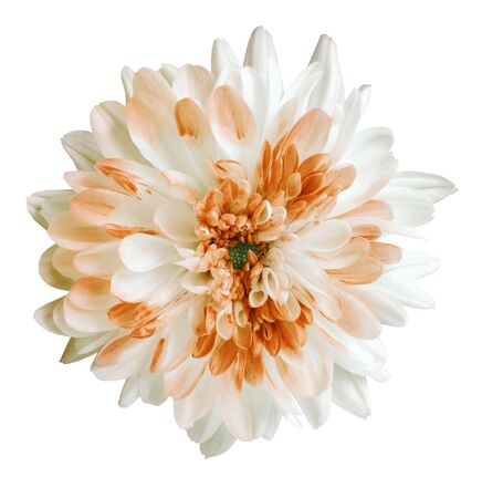white and orange dahlia flower, white isolated background with clipping path.   Closeup.  no shadows.  For design.  Nature.