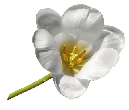 tulip white flower isolated on white background with clipping path.  Closeup no shadows.  Nature.