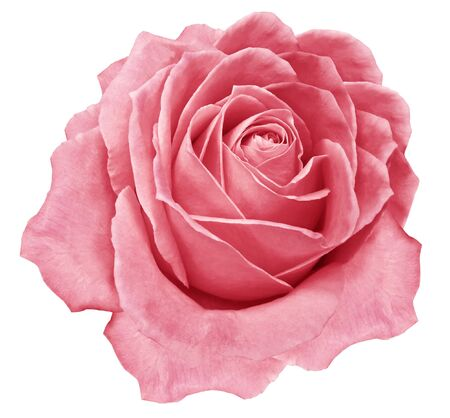 Rose  pink flower  on white isolated background with clipping path.  no shadows. Closeup. For design. Nature.