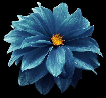 blue  dahlia. Flower on the black   isolated background with clipping path.  For design.  Closeup.  Nature.
