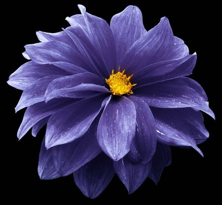 purple dahlia. Flower on the black   isolated background with clipping path.  For design.  Closeup.  Nature. Фото со стока
