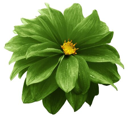green dahlia. Flower on a white    isolated background with clipping path.  For design.  Closeup.  Nature. Фото со стока