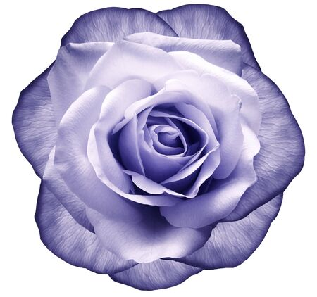 Rose purple-blue flower on white isolated background with clipping path.  no shadows. Closeup.  Nature.
