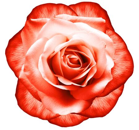 Rose red flower on white isolated background with clipping path.  no shadows. Closeup.  Nature. Фото со стока