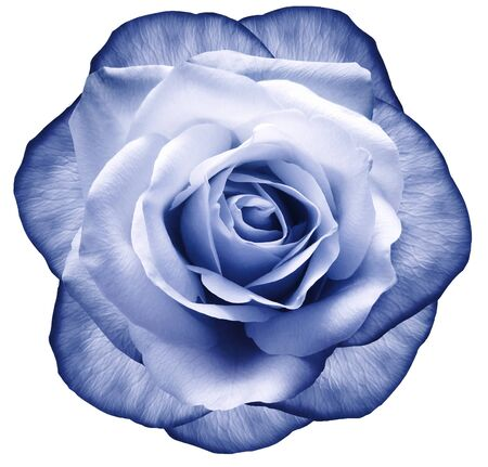Rose blue flower on white isolated background with clipping path.  no shadows. Closeup.  Nature. Фото со стока