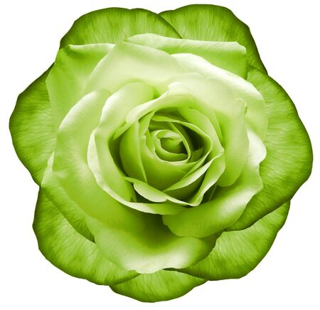 Rose green flower on white isolated background with clipping path.  no shadows. Closeup.  Nature.