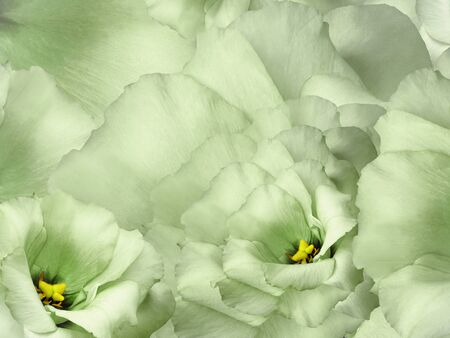 Floral green background. Flowers and petals of a green roses.  Close-up. Nature.