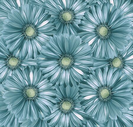 Floral  light turquoisel  background. A bouquet of flowers from  light turquoise-white   gerberas.  Close-up.   Nature.