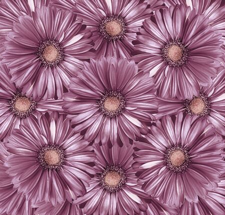Floral  light purple-pearl  background. A bouquet of flowers from  light purple-pink  gerberas.  Close-up.   Nature.