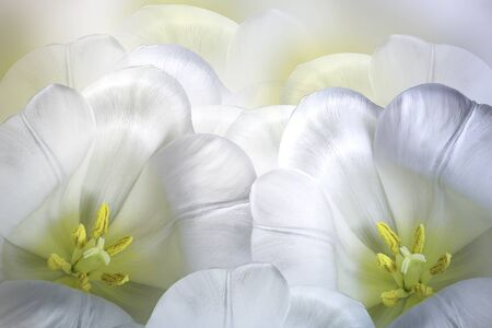 Floral spring white-yellow  background.  Flowers white tulips blossom. Close-up. Greeting card. Nature.  Фото со стока