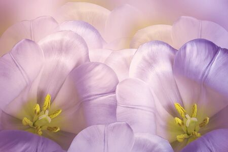 Floral spring зpink-violet  background.  Flowers pink tulips blossom. Close-up. Greeting card. Nature.