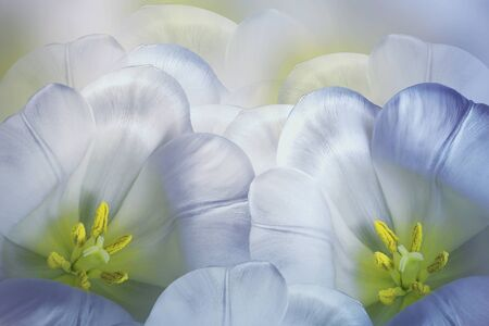 Floral spring blue-white background.  Flowers pink tulips blossom. Close-up. Greeting card. Nature.  Фото со стока