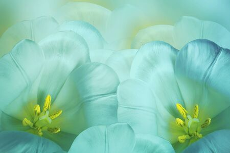 Floral spring   turquoise  background.  Flowers pink tulips blossom. Close-up. Greeting card. Nature.