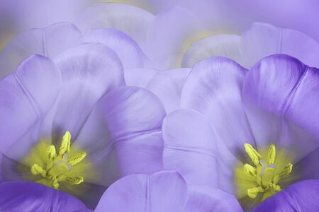 Floral spring violet background.  Flowers purple tulips blossom. Close-up. Greeting card. Nature.   Фото со стока