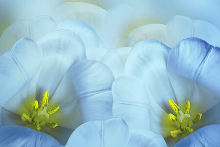 Floral spring  bright blue background.  Flowers  blue-yellow  tulips blossom. Close-up. Greeting card. Nature.  Фото со стока