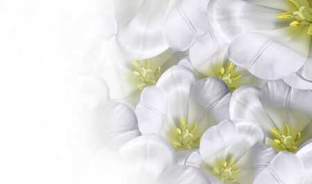 Floral spring white-yellow  background.  Flowers white tulips blossom. Close-up. Greeting card. Place for text.Nature.