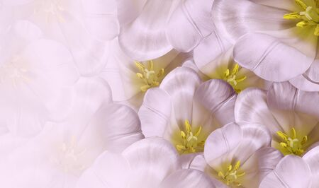 Floral spring white-pink  background.  Flowers white tulips blossom. Close-up. Greeting card. Place for text.Nature.
