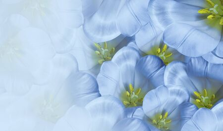 Floral spring blue  background.  Flowers white tulips blossom. Close-up. Greeting card. Place for text.Nature.  Фото со стока