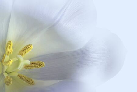 White-blue tulip  flower.  Macro.   Floral background. Closeup. Nature.