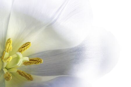 White tulip  flower.  Macro.   Floral background. Closeup. Nature.