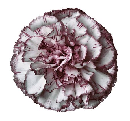 White-red carnation flower on a white isolated background with clipping path. Closeup. For design.  Nature.