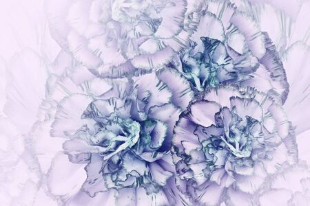 Floral  turquoise-pink background. Flowers of  turquoise-pink carnations. Close-up. Festive postcard. Nature. Stock Photo
