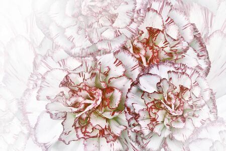 Floral  white-red  background. Flowers of  white-red carnations. Close-up. Festive postcard. Nature.