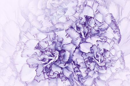 Floral  light violet background. Flowers of  white-violet carnations. Close-up. Festive postcard. Nature.