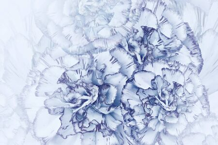 Floral  light  blue background. Flowers of  white-blue carnations. Close-up. Festive postcard. Nature.