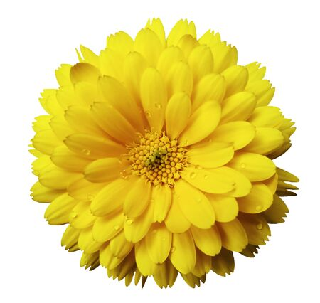Calendula flower yellow with dew on a white isolated background with clipping path. Closeup. Nature. Stock Photo