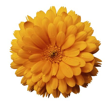 Calendula flower  orange with dew on a white isolated background with clipping path. Closeup. Nature.